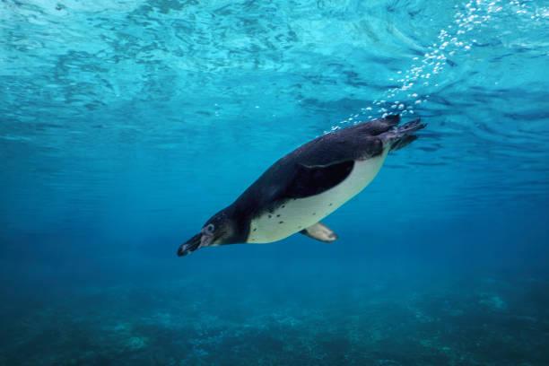 humboldt pinguïn onderwater duiken. - pinguins swimming stockfoto's en -beelden