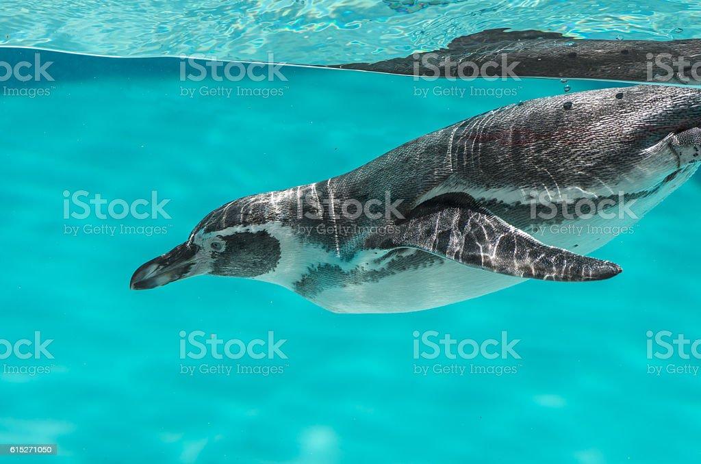 Humboldt penguin in the water stock photo