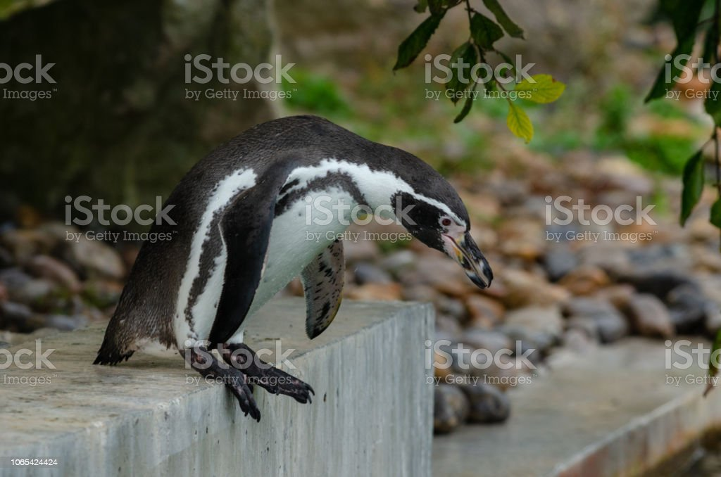 Humboldt Penguin stock photo