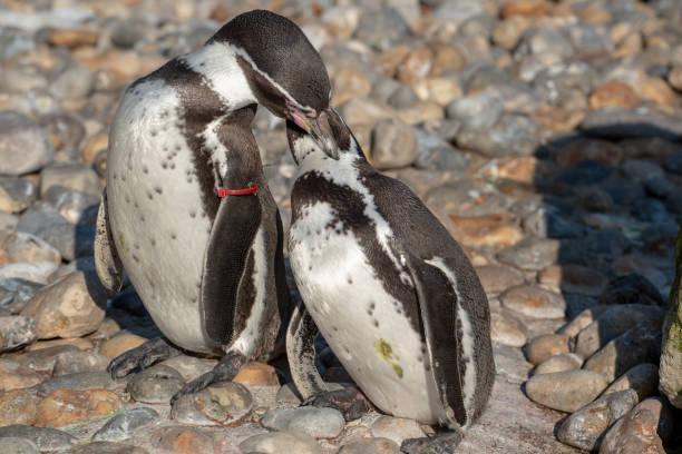 Humboldt Penguin stock photo