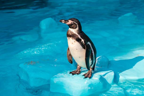 humboldt pinguïn - ornithologie stockfoto's en -beelden