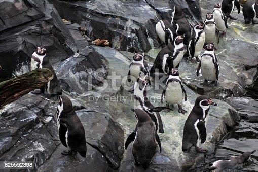 humboldt penguin standing on rocks