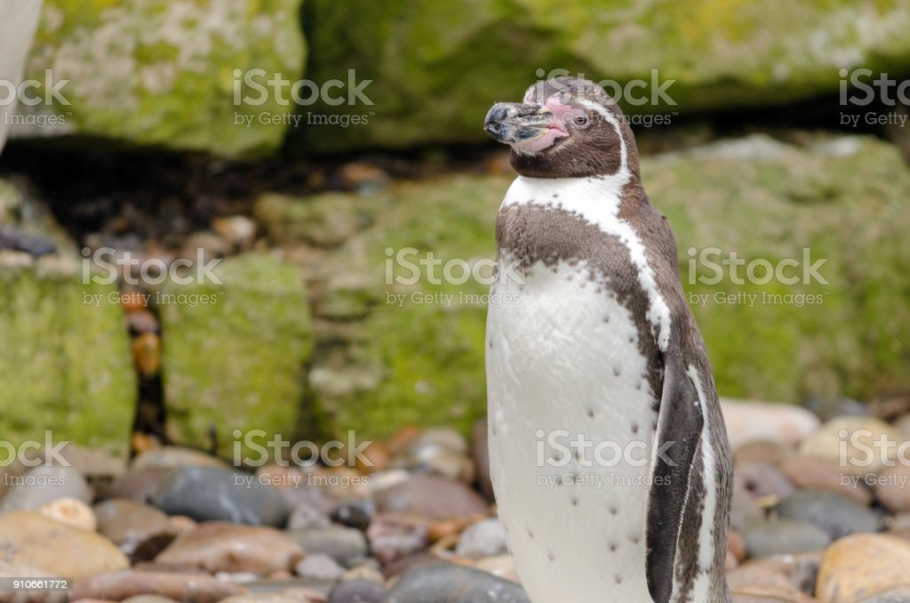 Humboldt Penguin royalty-free stock photo