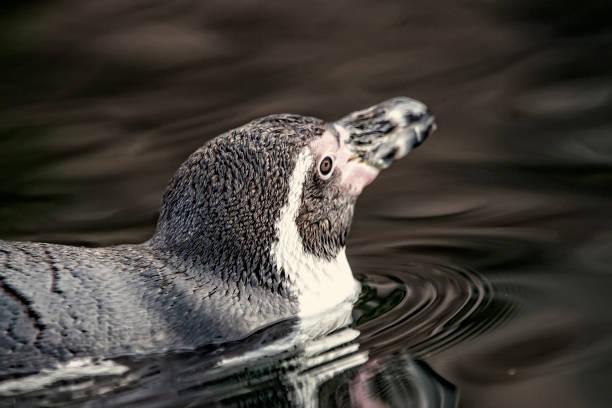 Humboldt Penguin - Spheniscus humboldti – Foto