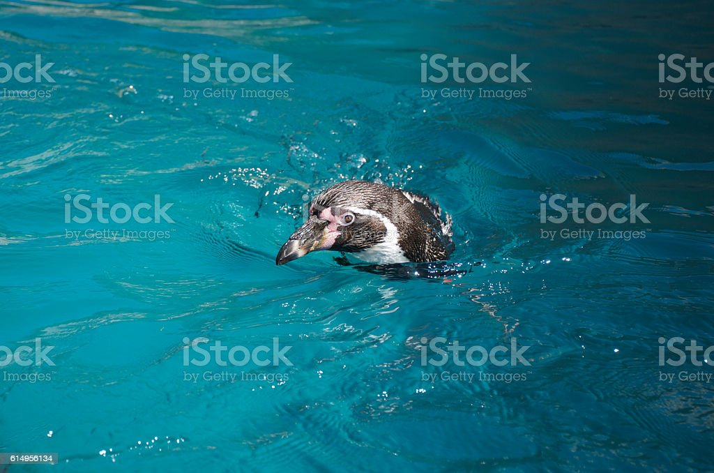 Humboldt penguin swimming and looking ahead above water – Foto