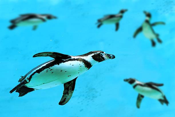 humboldt penguin swimming underwater - pinguins swimming stockfoto's en -beelden
