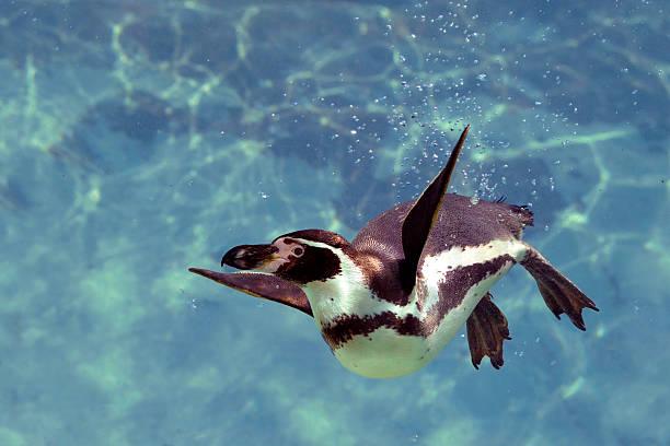 humboldt penguin under water - pinguins swimming stockfoto's en -beelden