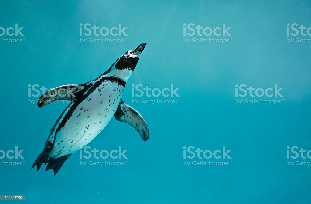 Humboldt penguin underwater swimming – Foto