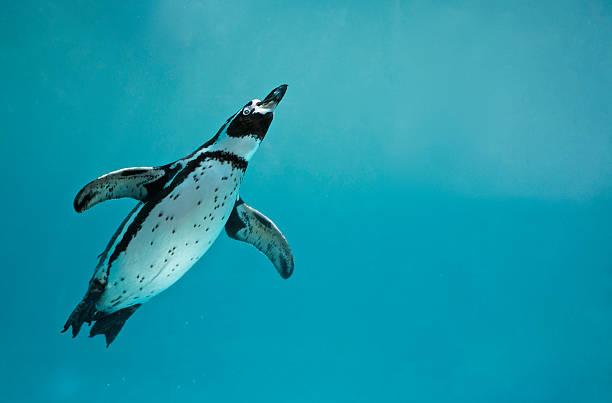 humboldt penguin underwater swimming - pinguins swimming stockfoto's en -beelden