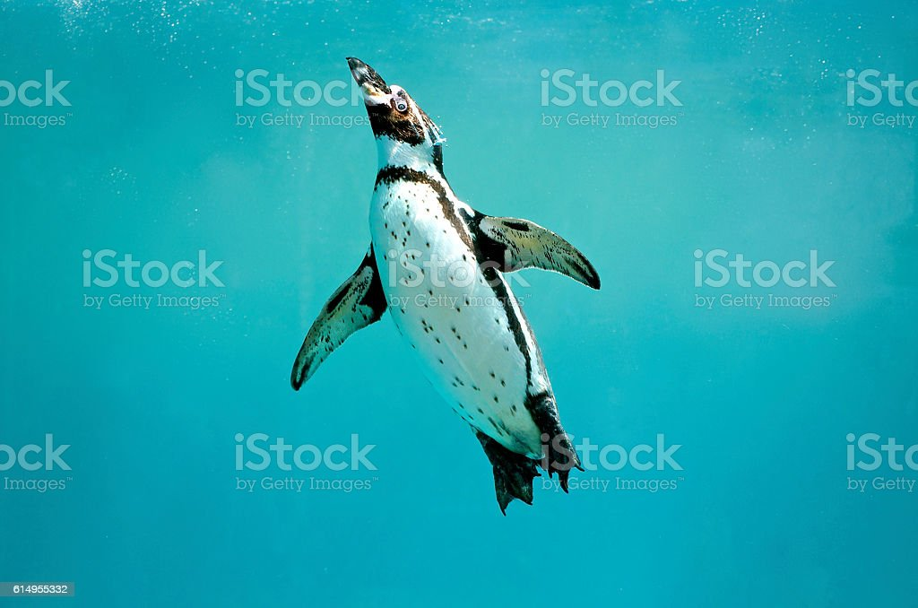 Humboldt penguin underwater swimming wings open looking – Foto