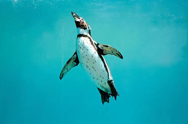 humboldt penguin underwater swimming wings open looking - pinguins swimming stockfoto's en -beelden