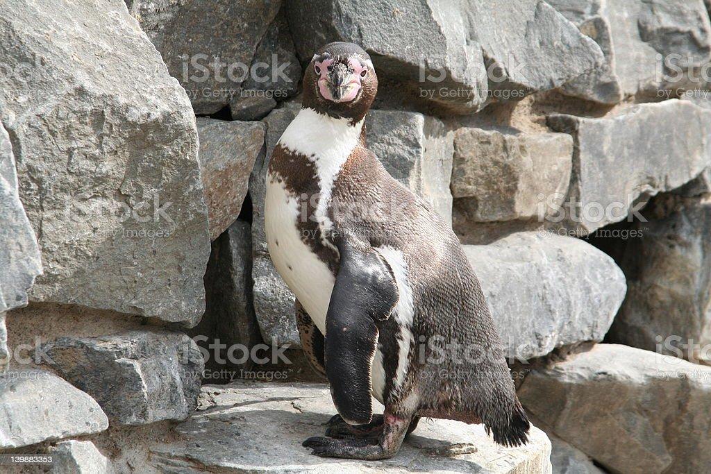 Humboldt penguine stock photo