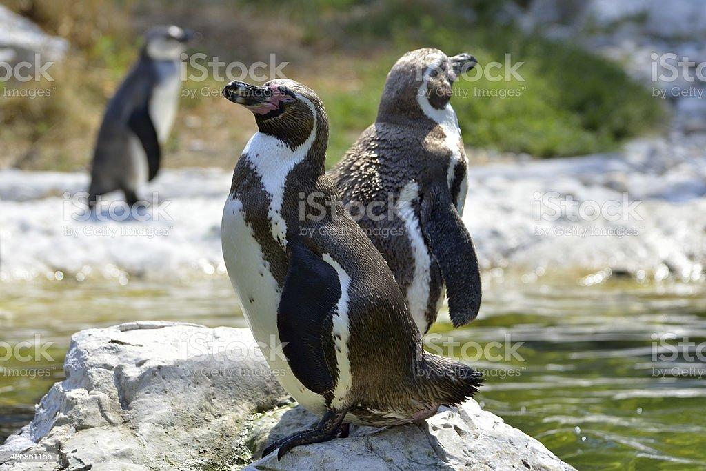 Humboldt penguins (Spheniscus Humboldt) in a zoo stock photo