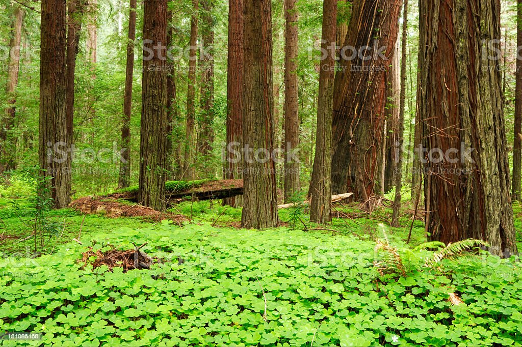 Humboldt Redwoods (H) royalty-free stock photo