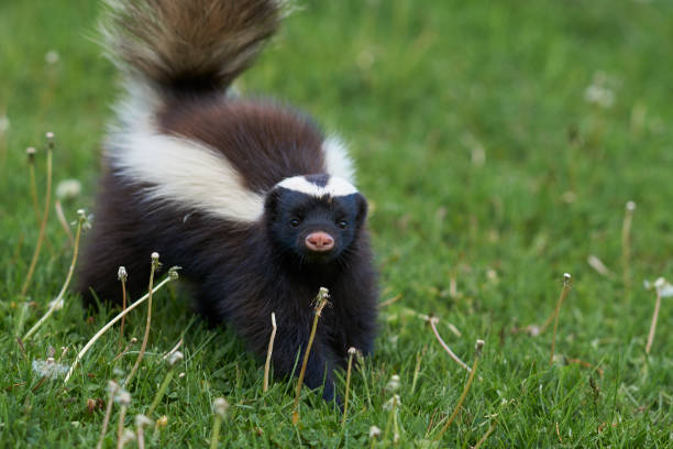 humboldt's hog-nosed skunk - skunk stock photos and pictures
