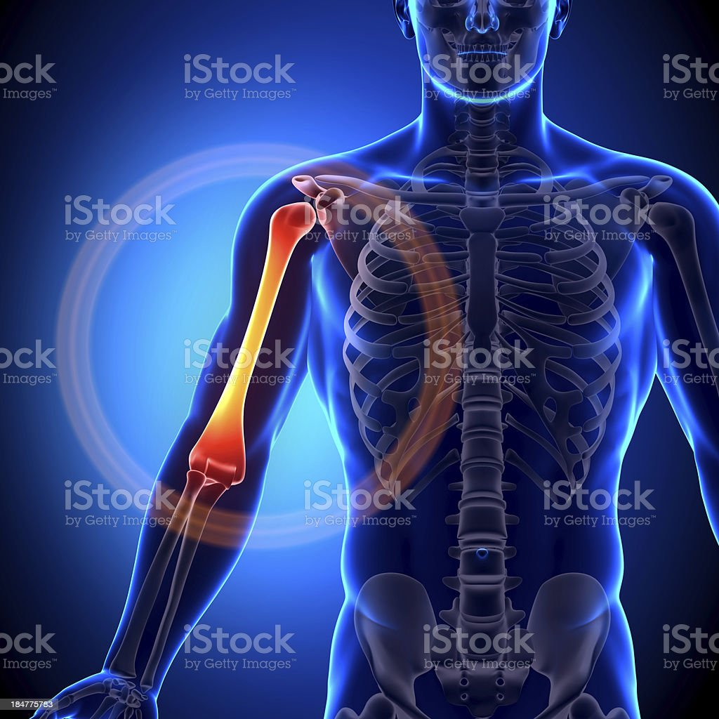 Humerus - Anatomy Bones stock photo