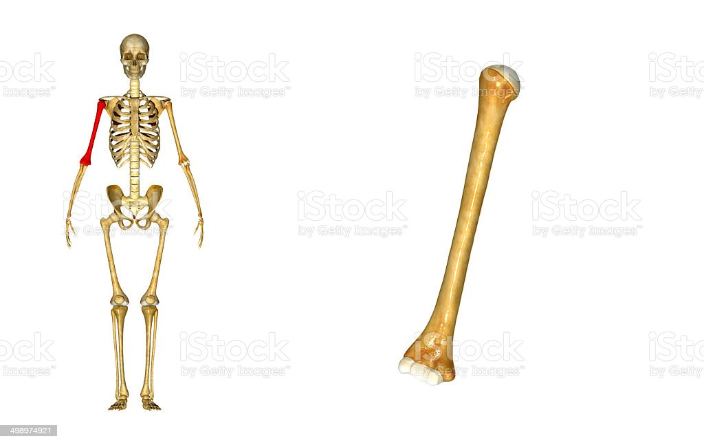Humerus stock photo