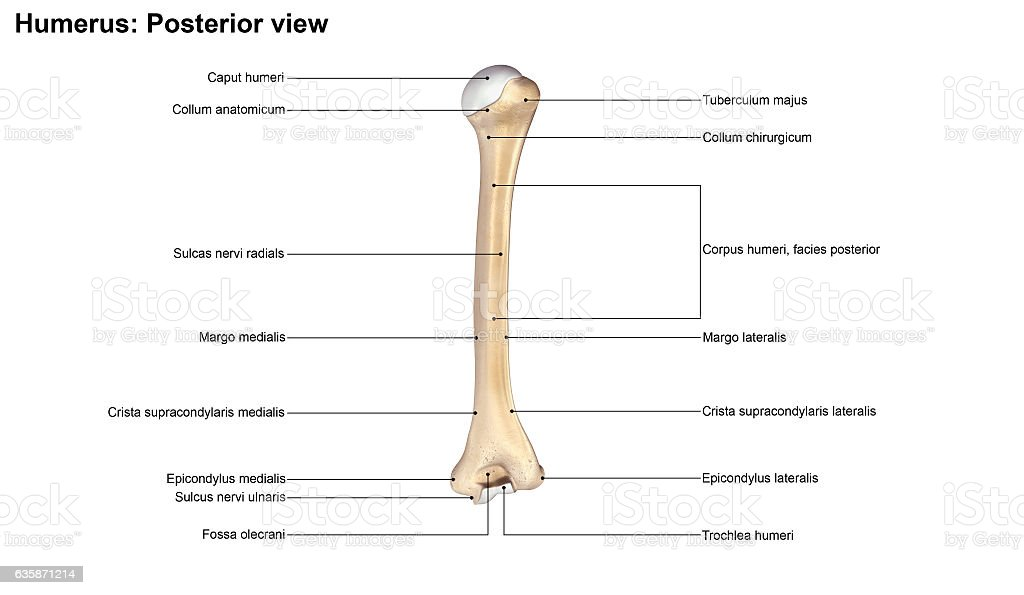Humerus_Posterior view stock photo
