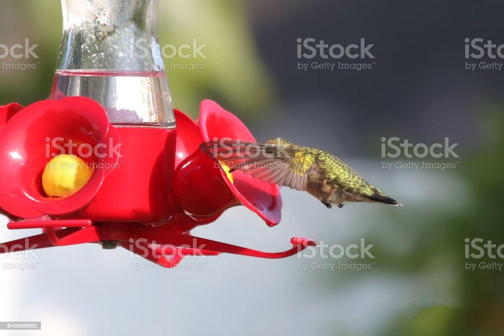 Humingbird eating stock photo