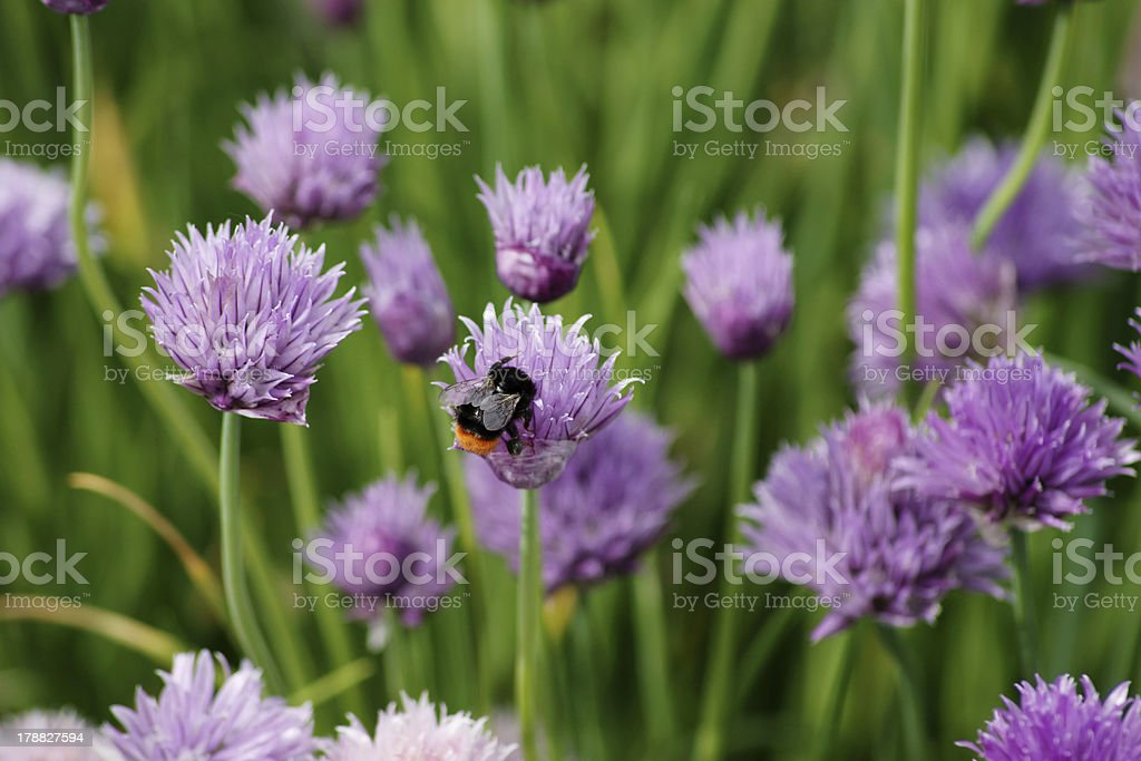 Hummel and chives stock photo