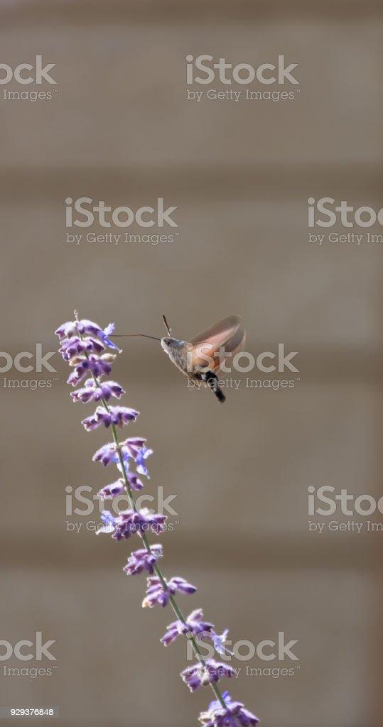 Hummimgbird Moth on Lavender stock photo