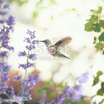 Square image of a hummingbird feeding on purple flowers