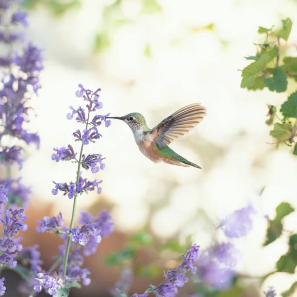 humminbird utfodring på lila blommor - kolibri bildbanksfoton och bilder