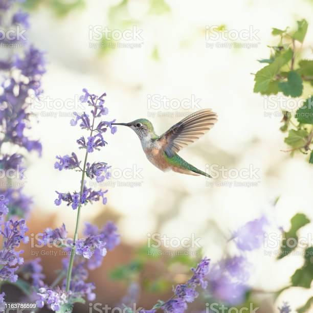 Photo of Humminbird feeding on purple flowers