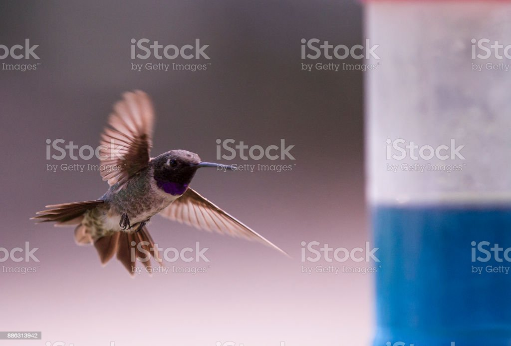 humming bird feeding stock photo