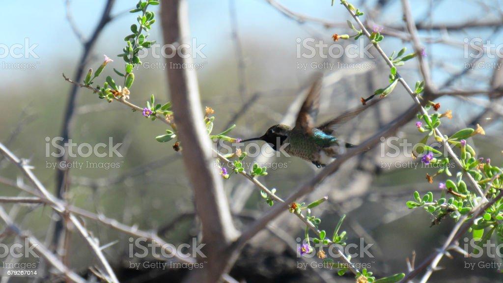 Humming Bird mid flight stock photo