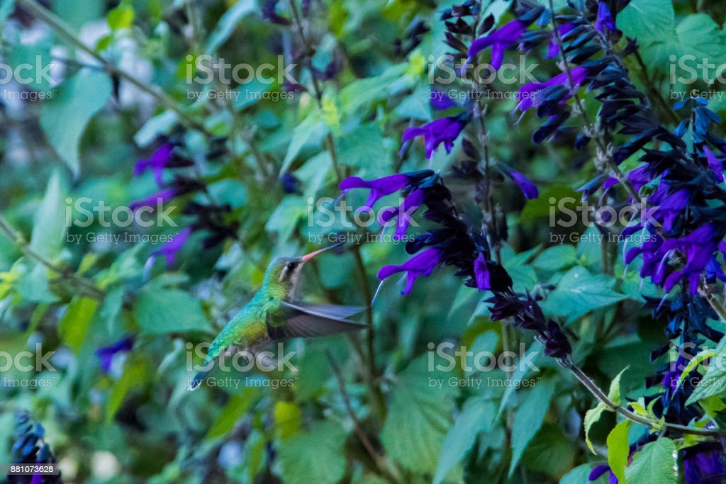 Humming bird on Beautiful plant with violet flowers in Puerto Madero stock photo