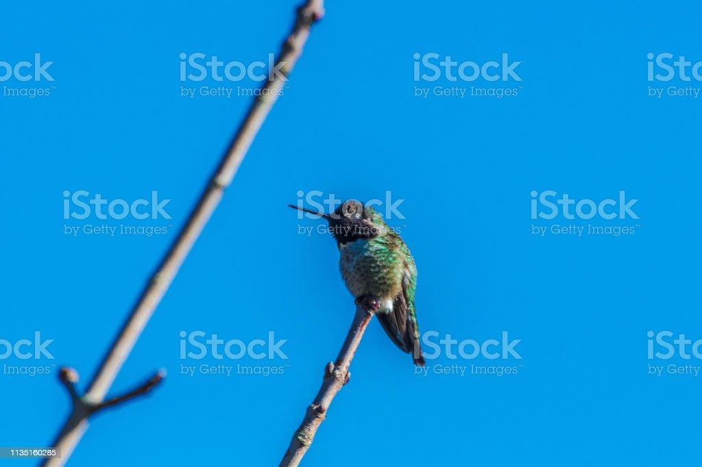 Humming Bird stock photo