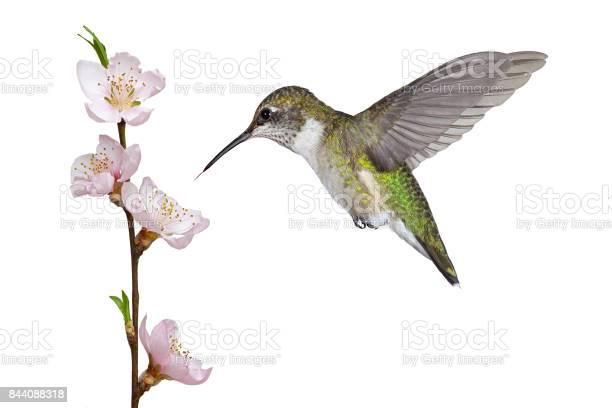 Hummingbird and a fruit blossom picture id844088318?b=1&k=6&m=844088318&s=612x612&h=vgyr3rmpgdrofpiu8xlgjhr1uraib ak1lvyhyeetqu=