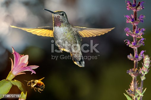 This is a photograph of a hummingbird and a bumblebee hovering around flowers