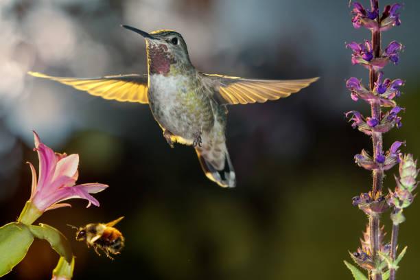 Hummingbird and bumblebee hovering around flowers stock photo