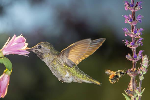 Hummingbird and bumblebee visit flowers stock photo