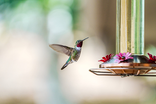 A male broad-tailed hummingbird with bright red throat hovers near a sugar water feeder