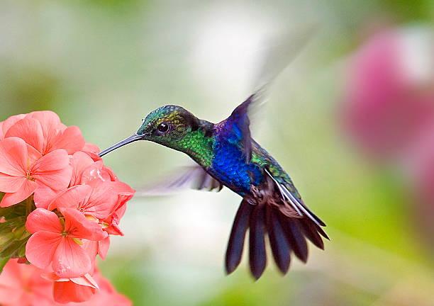 hummingbird and flower - kolibri bildbanksfoton och bilder