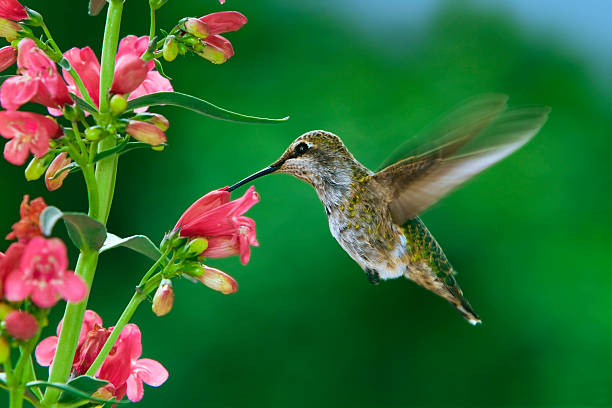 Hummingbird and flowers stock photo