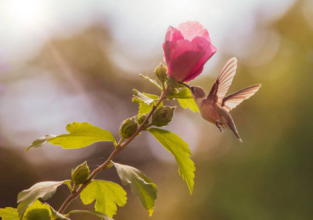 Hummingbird and Rose of Sharon stock photo