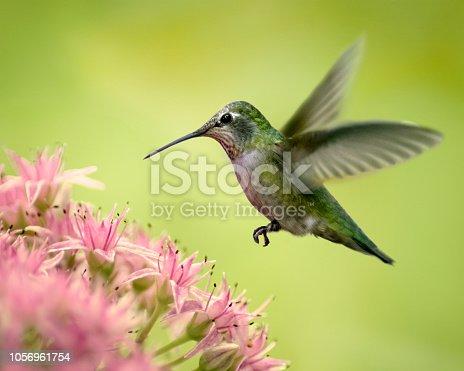 Anna's Hummingbird hovering over pink sedum flowers