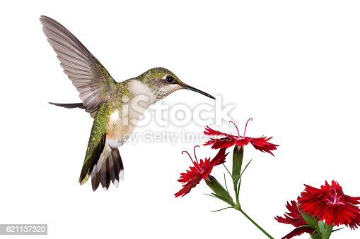 wings frozen a hummingbird spreads her tail over three red dianthus; white background