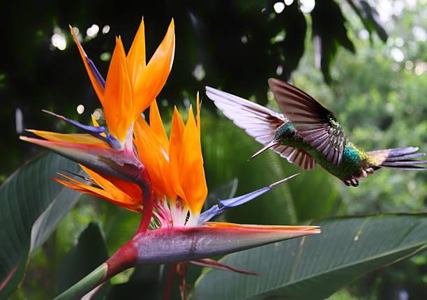 Hummingbird at flower picture id177088144?b=1&k=6&m=177088144&s=612x612&w=0&h=9jefojqv4w4izskyvzia5x9kfknhkbw idxcmyvmgbo=