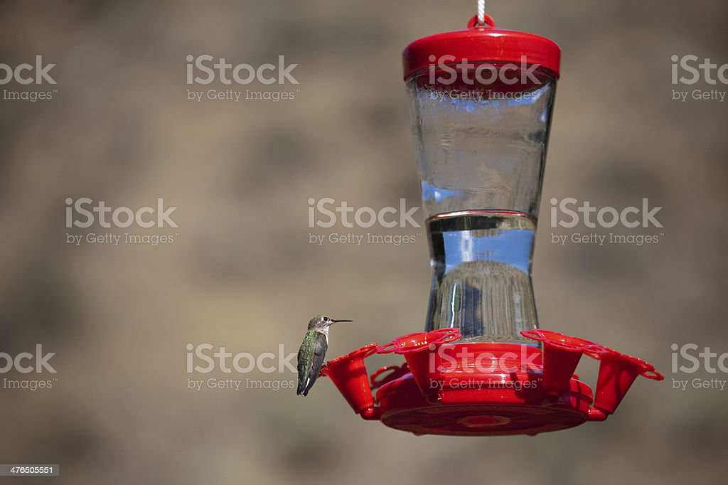 Hummingbird at Red Bird Feeder royalty-free stock photo
