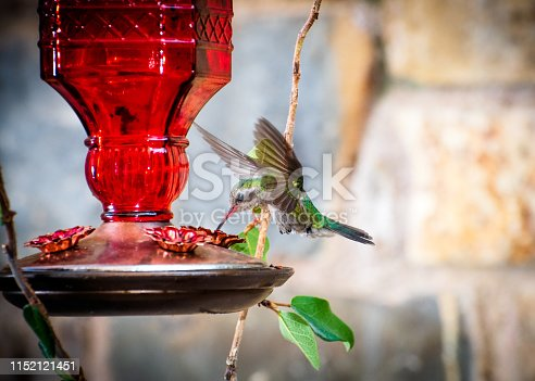 Hummingbird , green and blue colors, flying around its feeder in the garden of a house. Spring.