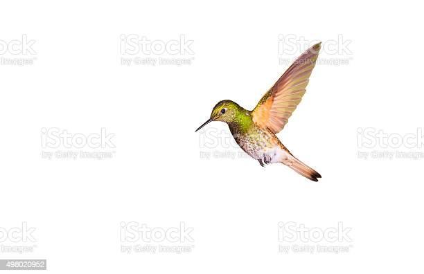 Hummingbird bufftailed coronet picture id498020952?b=1&k=6&m=498020952&s=612x612&h=xawf0nrlqkbgi33zleevuf8zb9i6utdd7kctc8tz9bw=