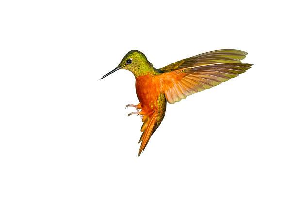 hummingbird , chestnut-breasted coronet - kolibri bildbanksfoton och bilder