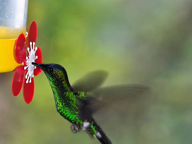Hummingbird drinking water hummingbird drinking water from a drinking fountain trough stock pictures, royalty-free photos & images