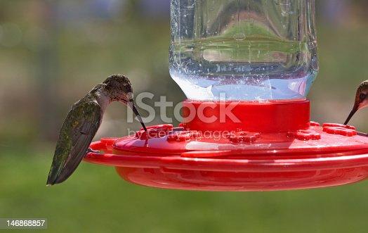 Hummingbirds drink at a feeder in Utah.