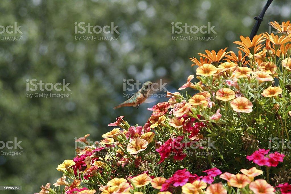 Hummingbird feeding on flowers bunch royalty-free stock photo